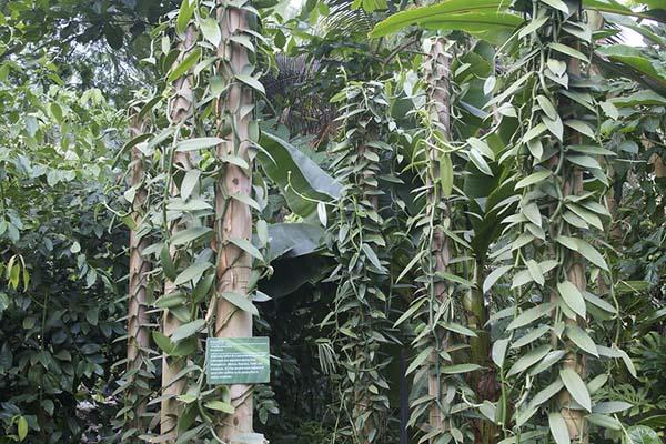 Vines of vanilla plants