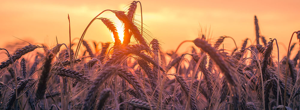 Wheat fields with the sun setting behind it