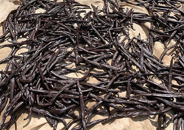 Cured vanilla beans set out to dry out
