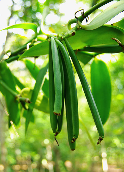 green vanilla bean pods hanging from a vine
