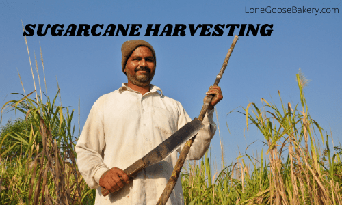sugarcane harvest for rum